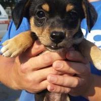 Adopt A Pet :: DJ - Fresno, CA