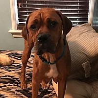 Adopt A Pet :: Mariah - ST LOUIS, MO