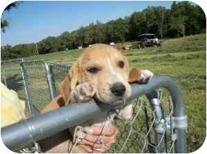 Hound (Unknown Type) Mix Puppy for adoption in Lonedell, Missouri - Brinkley 8