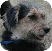 Wirehaired Fox Terrier/Dachshund Mix Dog for adoption in Foster, Rhode Island - Crash