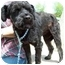 Photo 3 - Schnauzer (Miniature)/Poodle (Miniature) Mix Dog for adoption in North Judson, Indiana - Soda
