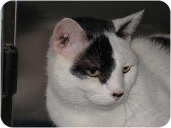 Domestic Shorthair Cat for adoption in Pinehurst, North Carolina - Honey