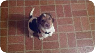Beagle Puppy for adoption in Mount Gretna, Pennsylvania - Paige