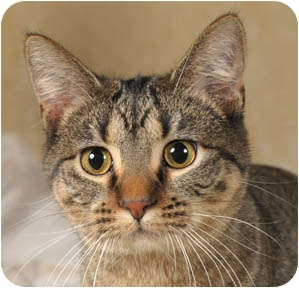 Domestic Shorthair Cat for adoption in Chicago, Illinois - Robin