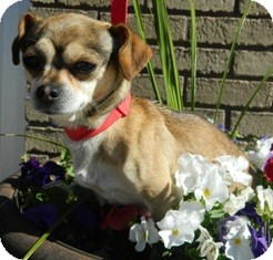 Chihuahua Mix Dog for adoption in Columbus, Nebraska - Scrappy