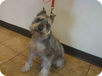 Miniature Schnauzer Dog for adoption in Oak Ridge, New Jersey - Tucker