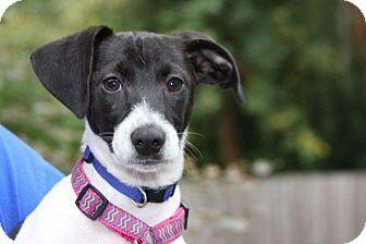 Rat Terrier Puppy for adoption in Portland, Oregon - Gypsy