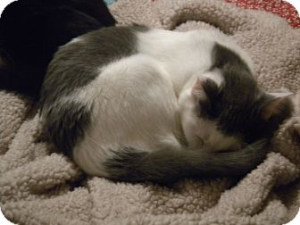 Domestic Shorthair Cat for adoption in Loveland, Colorado - Abby
