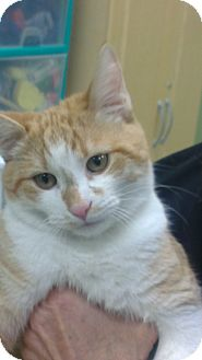 Domestic Shorthair Kitten for adoption in Grasonville, Maryland - Tootles