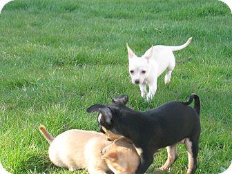 Chihuahua Puppy for adoption in Tumwater, Washington - Whitey