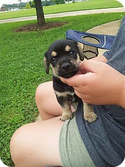 Shepherd (Unknown Type)/Golden Retriever Mix Puppy for adoption in Indian Trail, North Carolina - Rex