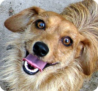 Dachshund/Cairn Terrier Mix Dog for adoption in Oakley, California - Candy