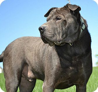 Shar Pei Dog for adoption in Pawtucket, Rhode Island - Sampson