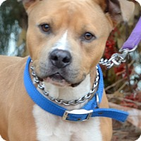 Adopt A Pet :: CHARGER - Miami, FL