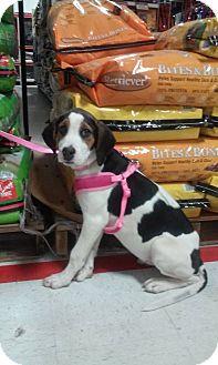 Treeing Walker Coonhound Mix Puppy for adoption in Plainfield, Connecticut - DOTTIE