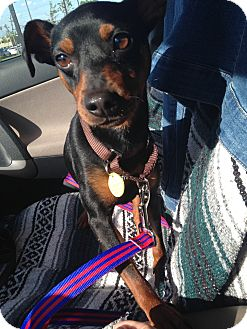 Miniature Pinscher Dog for adoption in Pierrefonds, Quebec - Ringo