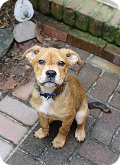 Boxer/Golden Retriever Mix Puppy for adoption in Greenfield, Wisconsin - Benji