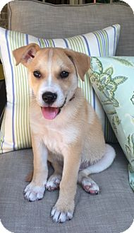 Collie/Labrador Retriever Mix Puppy for adoption in Rochester, New Hampshire - Calvin