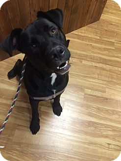 Labrador Retriever/Cane Corso Mix Dog for adoption in Vancouver, Washington - Rocky