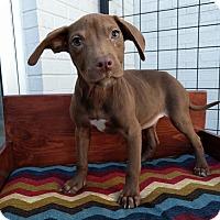 Adopt A Pet :: Beretta - Houston, TX