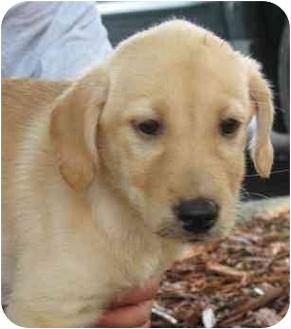 Labrador Retriever/Golden Retriever Mix Puppy for adoption in Cumming, Georgia - Brandy