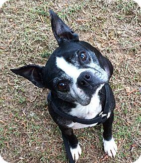 Boston Terrier Mix Dog for adoption in Courtland, Alabama - Scotty