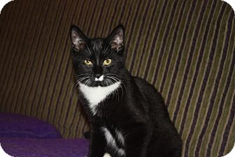 Domestic Shorthair Cat for adoption in Little Falls, New Jersey - CT (LE)