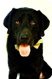 Labrador Retriever Mix Dog for adoption in Fort Smith, Arkansas - Willie Nelson