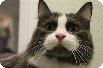 Domestic Longhair Cat for adoption in Lincoln, California - Crystal