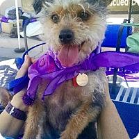 Adopt A Pet :: Little Girl - Scottsdale, AZ