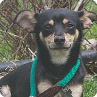 Adopt A Pet :: Weasel - Elmwood Park, NJ