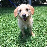 Adopt A Pet :: Freedom - Waco, TX