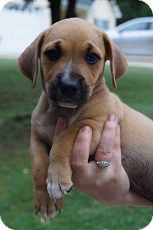 Boxer/Dachshund Mix Puppy for adoption in Newark, Delaware - Lumpy