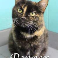 Domestic Shorthair/Domestic Shorthair Mix Cat for adoption in Bradenton, Florida - Pepper