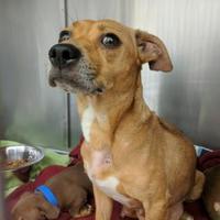 Adopt A Pet :: Amy - Auburn, AL
