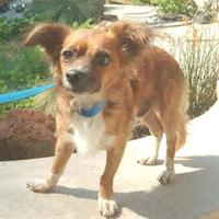 Adopt A Pet :: Bobby($250) - Redding, CA