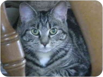 Domestic Shorthair Cat for adoption in Jenkintown, Pennsylvania - Cutie Pie