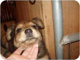 Shepherd (Unknown Type)/Labrador Retriever Mix Puppy for adoption in Cincinnati, Ohio - puppy_KEEPER