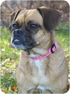 Pug Mix Dog for adoption in Ladysmith, Wisconsin - Lucy