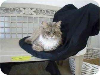 Domestic Longhair Cat for adoption in El Cajon, California - Sophia