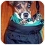 Photo 2 - Jack Russell Terrier Dog for adoption in Warren, New Jersey - Lucy Lu