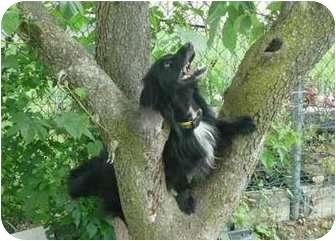 Dachshund Dog for adoption in Jacobus, Pennsylvania - Hansel - NJ