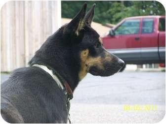 German Shepherd Dog Dog for adoption in Zanesville, Ohio - Prince