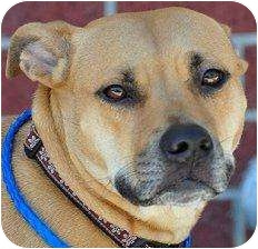 American Pit Bull Terrier Mix Dog for adoption in Houston, Texas - Patty