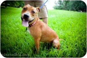 American Pit Bull Terrier Mix Dog for adoption in Houston, Texas - Maybeleine