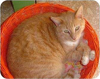 Domestic Shorthair Cat for adoption in Sherman Oaks, California - Mac