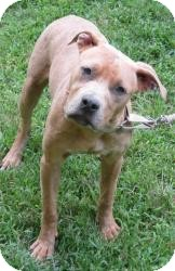 Labrador Retriever/American Pit Bull Terrier Mix Dog for adoption in Bloomfield, Connecticut - Adamo
