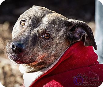 Staffordshire Bull Terrier/Dachshund Mix Dog for adoption in Westminster, California - Merry Legs