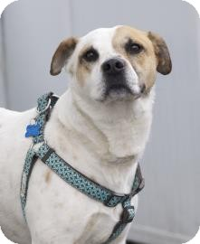 American Bulldog Mix Dog for adoption in West Des Moines, Iowa - Zeus