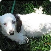 Adopt A Pet :: Old Peko - Garden Grove, CA